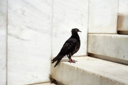 Dove on stairs at Syntagma Square, Athens, Greece, 2016 / Περιστέρι σε σκαλιά στην πλατεία Συντάγματος, Αθήνα, 2016