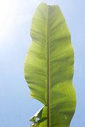 Banana leaf, Greece, May 2010 / Φύλλο μπανανιάς, Ελλάδα, Μάιος 2010