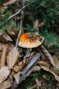 Amanita Muscaria. Wild mushroom in Mt Pelion, Greece 2008 / Amanita Muscaria. Παραισθησιογόνο άγριο μανιτάρι σε δάσος στο Πήλιο, Οκτώβριος 2008