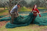 Couple of workers collect the nets with the olives that fell from the trees, during the traditional annual picking of olives, Lakonia, Peloponnese, Greece, January, 2012 / Ζευγάρι εργατών μαζεύει τα πανιά με τις ελιές που έπεσαν από τα δέντρα, στη διάρκεια του παραδοσιακού, ετήσιου μαζέματος της ελιάς, Κροκεές Λακωνίας, Πελοπόννησος, Ιανουάριος 2012