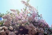 Blooming bougainvillea, Cephalonia, Ionian Islands, Greece, August 2016 / Ανθισμένη βουκαμβίλια, Κεφαλονιά, Αύγουστος 2016