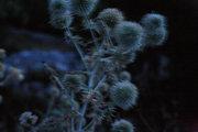 Thorns, Cephalonia, Ionian Islands, Greece, August 2016 / Αγκάθια, Κεφαλονιά, Αύγουστος 2016