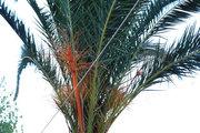 Palm tree, Cephalonia, Ionian Islands, Greece, August 2016 / Φοίνικας, Κεφαλονιά, Αύγουστος 2016