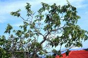Walnut wakes up in the midday air, Cephalonia, Ionian Islands, Greece, August 2016 / Καρυδιά ανεμίζει στον μεσημεριάτικο αέρα, Κεφαλονιά, Αύγουστος 2016