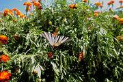 Butterfly surrounded by flowers in house yard at the village of Neohori of Erissos, Kefalonia island, Greece, August 2013 / Πεταλούδα ανάμεσα σε λουλούδια στην αυλή σπιτιού, Νεοχώρι Ερίσσου, Κεφαλονιά, Αύγουστος 2013