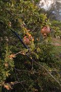 Pomegranate tree at the village of Neohori of Erissos, Kefalonia island, Greece, August 2013 / Ροδιά, στο χωριό Νεοχώρι Ερίσσου, Κεφαλονιά, Αύγουστος 2013