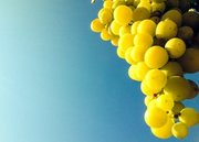 Grapes, Cephalonia, Ionian islands, Greece, August 2016 / Σταφύλι, Κεφαλονιά, Αύγουστος 2016