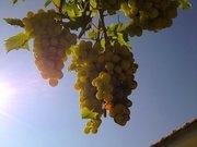 Grapes, Cephalonia, Ionian islands, Greece, August 2016 / Σταφύλια, Κεφαλονιά, Αύγουστος 2016